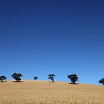 Barley field-Truro-SA-Australia